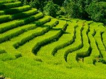 Campos verdes hermosos del arroz Imágenes de archivo libres de regalías
