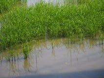 Campos verdosos GR del verde del viridity del verdor del árbol del arroz de la naturaleza verdantly del verdor del verdor verdoso fotografía de archivo
