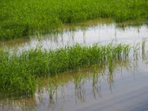 Campos verdosos GR del verde del viridity del verdor del árbol del arroz de la naturaleza verdantly del verdor del verdor verdoso fotografía de archivo libre de regalías