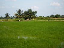 Campos verdosos GR del verde del viridity del verdor del árbol del arroz de la naturaleza verdantly del verdor del verdor verdoso foto de archivo