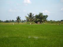 Campos verdosos GR del verde del viridity del verdor del árbol del arroz de la naturaleza verdantly del verdor del verdor verdoso imagen de archivo libre de regalías