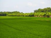 Campos verdosos GR del verde del viridity del verdor del árbol del arroz de la naturaleza verdantly del verdor del verdor verdoso fotos de archivo libres de regalías