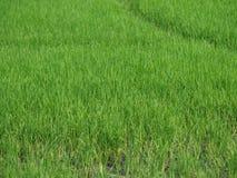 Campos verdosos GR del verde del viridity del verdor del árbol del arroz de la naturaleza verdantly del verdor del verdor verdoso imagen de archivo