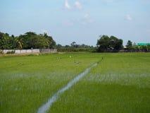 Campos verdosos GR del verde del viridity del verdor del árbol del arroz de la naturaleza verdantly del verdor del verdor verdoso imagenes de archivo