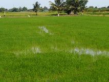 Campos verdosos GR del verde del viridity del verdor del árbol del arroz de la naturaleza verdantly del verdor del verdor verdoso foto de archivo libre de regalías