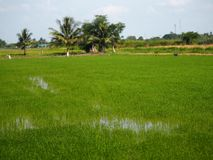 Campos verdosos GR del verde del viridity del verdor del árbol del arroz de la naturaleza verdantly del verdor del verdor verdoso imágenes de archivo libres de regalías