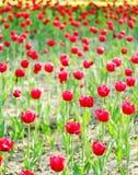 Campos vermelhos do Tulip Fotos de Stock