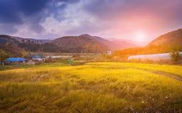 Campos y montañas amarillos del arroz detrás Foto de archivo libre de regalías