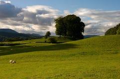 Campos y ovejas del balanceo Foto de archivo libre de regalías