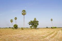 Campos y paja del arroz y palma del rastrojo y de azúcar del arroz y evenin Fotos de archivo libres de regalías