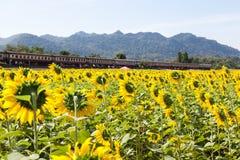 Campos y rastros del girasol con un tren Imagen de archivo libre de regalías