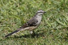 Camposspotlijster, κιμωλία-browed Mockingbird, saturninus Mimus στοκ φωτογραφίες