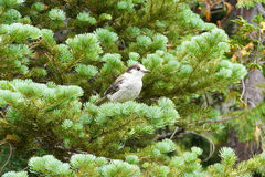 Camprobber - the Gray Jay Royalty Free Stock Image