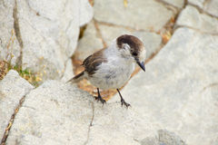 Camprobber - the Gray Jay Royalty Free Stock Images