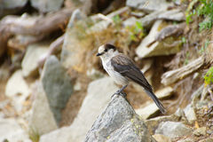 Camprobber - the Gray Jay Stock Photography
