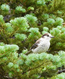 Camprobber - the Gray Jay Royalty Free Stock Photography