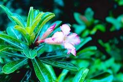 Campsis för rankan för trumpetvinrankan radicans är en blomma växt av familjbignoniaceaen, infödingen till USA, Europa och Latina arkivbild