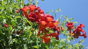 Campsis flowers. Trumpet creeper with buds in the breeze and bee flying stock footage