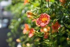 Campsis grandiflora Royalty Free Stock Photos