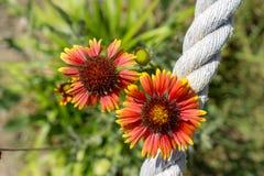 Campsis grandiflora Royalty Free Stock Image