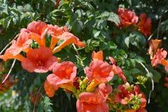 Campsis radicans喇叭藤或凌霄花,也已知在北美洲作为母牛痒藤或蜂鸟藤 库存照片