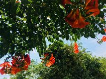 Campsis radicans in Crimea royalty free stock photo