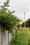 Campsis radicans flavus με τα κίτρινα λουλούδια σε έναν γκρίζο φράκτη Sel Στοκ Εικόνες