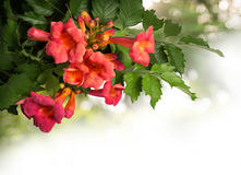 Campsis radicans flowers isolated on white background Royalty Free Stock Photo