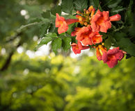 Campsis radicans kwiaty odizolowywający na białym tle Zdjęcie Stock