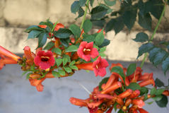Campsis radicans, Trumpet vine, Cow itch vine Stock Photo