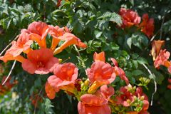 Campsis radicans trumpet vine or trumpet creeper, also known in North America as cow itch vine or hummingbird vine. Trumpet vine flowers stock photo