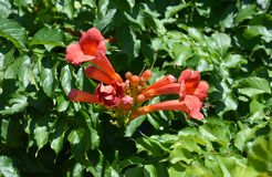 Campsis radicans trumpet vine or trumpet creeper, also known in North America as cow itch vine or hummingbird vine. Trumpet vine. Flowers royalty free stock images
