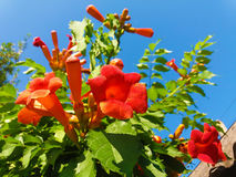Campsis. A tall bush of campsis stretches to the blue skies Royalty Free Stock Image