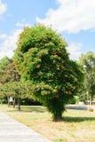 Campsis Tecoma radicans侵略一棵高杉树的喇叭藤植物形成一华美的symbiose 库存照片
