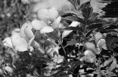 Campsis - trumpet vine - flowers Stock Photo