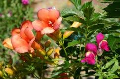 Campsis - trumpet vine - flowers Stock Photos