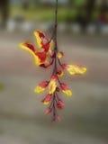 Camptosema blomma Arkivbild