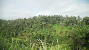 Campuhan Ridge Walk, Palm Tree and Jungle in Ubud, Bali, Indonesia. View of the Campuhan Ridge Walk, Green Hill, Palm Tree and Jungle in Ubud, Bali, Indonesia stock video footage