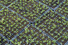 Campuses of cypress. Seedlings in a nursery stock photography