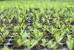 Campuses of cypress. Seedlings in a nursery Royalty Free Stock Photography