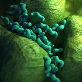The campylobacter - close up Stock Photos