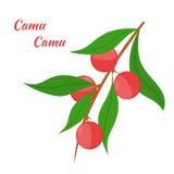 Camu di camu di Superfood nello stile piano Bacche rosse di camu, frutta Immagini Stock Libere da Diritti