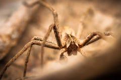 Camuffamento del ragno Fotografia Stock Libera da Diritti