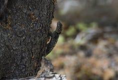 Camuflage της σαύρας στο δέντρο στοκ εικόνα