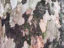 Camuflage bark Royalty Free Stock Image