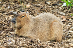 Camuflagem do Capybara Imagem de Stock