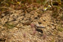 Camuflagem do lagarto fotografia de stock
