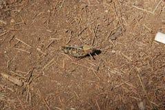 Camuflagem natural - grilo no assoalho da floresta que mistura-se em arredores imagem de stock