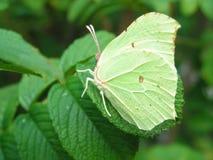 Camuflaje de la mariposa Fotografía de archivo