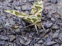 Camuflaje de la mariposa Foto de archivo libre de regalías